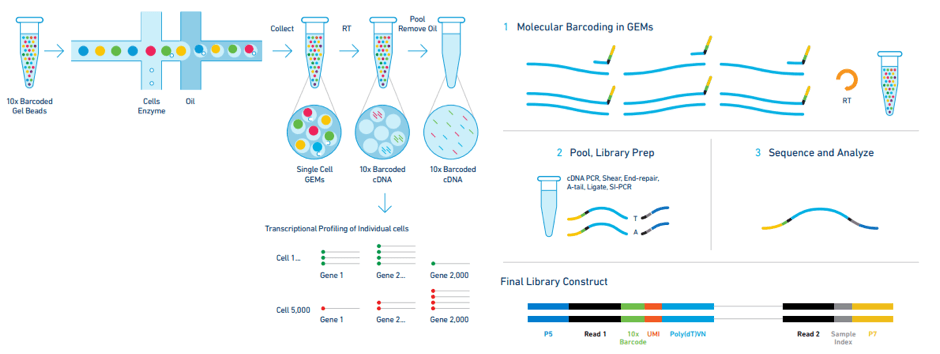 Figure methodology Service page   Single Cell sequencing